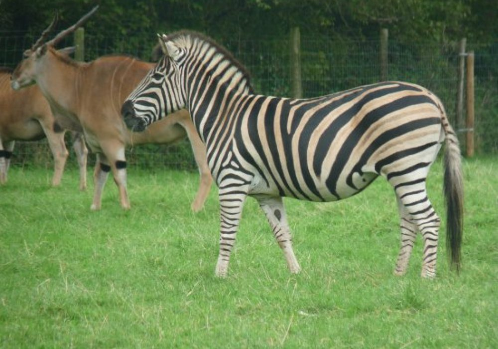 zebra-at-porfell
